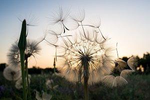 dandelion fuzz swelled drops