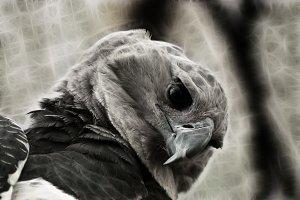 Harpy Eagle Closeup