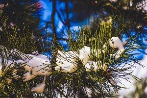 Frozen Fir in Winter