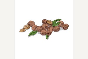 Isolated clipart Walnut