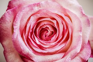 Closeup of blooming pink rose