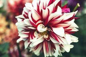 Pretty Red-White Flower