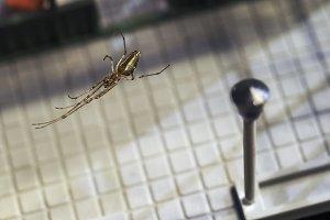 Beautiful Golden spider hanging