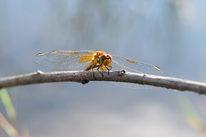 Beautiful Yellow dragonfly