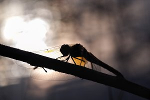 Silhouette of dragonflies on a backdrop of the setting sun