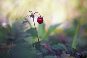 Berry wild strawberry