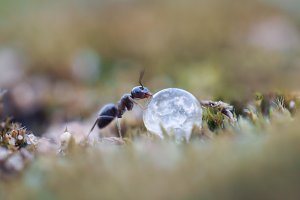 Ant drinking a drop of dew.
