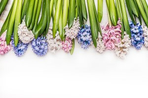 Colorful Hyacinths layout on white