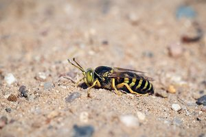 Portrait of a sand wasp