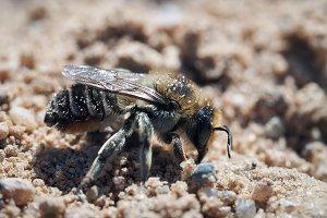 Wild earthy leaf - cutting bees Megachilidae