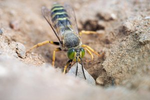 Sand wasp dragging a huge stone