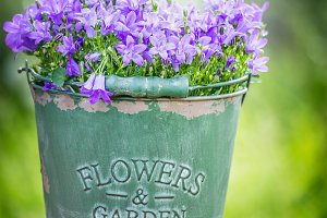 Bucket with garden bluebell flowers