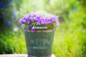 Old bucket with garden bell flowers