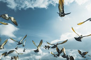 Flock Of Doves Flying In Blue Sky In