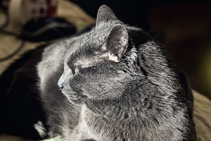 Beauty adult gray cat in profile at