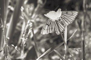 Tender butterfly on flower in sepia