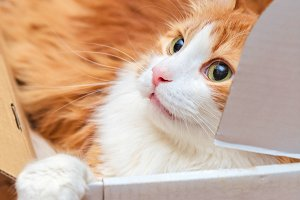 Adorable ginger adult cat in box