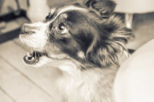 Black and white surprised sepia dog