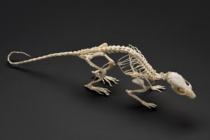 Rodents. Skeleton of rat (mouse).
