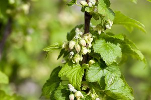 spring flowering currant