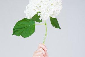 hand holding up hydrangea flowers