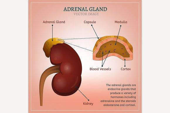 Adrenal Gland Illustrations Creative Market