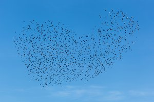 A flock of birds in the sky.
