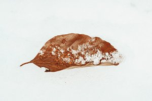 Brown leaf in the snow.