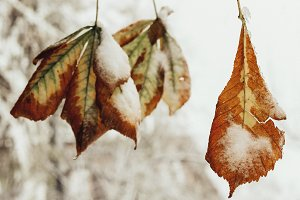 Leaves in a tree covered with snow