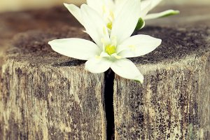 White spring flowers on a rustic woo