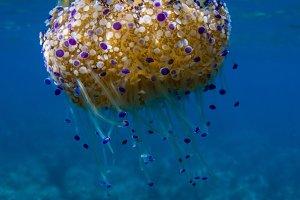 Cotylorhiza tuberculata jellyfish