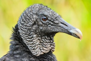 Closeup portrait of a Black vulture