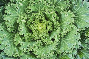 Macro cabbage ornamental