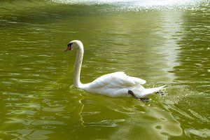 Swan swimming in green waters.