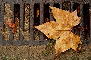 Dry fallen leaf