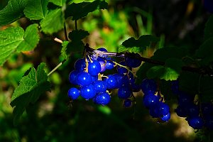 Blue currant