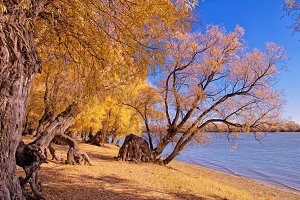 Strange huge autumn willows on the bank of the Siberian river