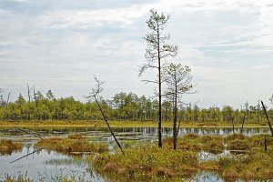 Siberian impassable swamp in the summer noon