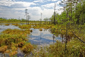 Impenetrable swamp in the Siberia noon