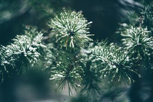 Pine branches in winter forest