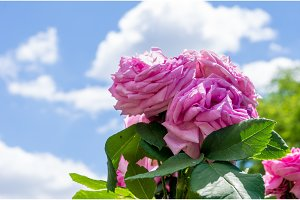 A bouquet of outdoor roses against a blue sky.