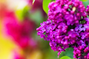 Purple lilac blossoms blooming
