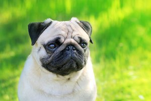 Pug dog portrait purebred