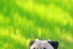 Pug dog portrait purebred sitting