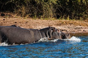 Hippos running into the water