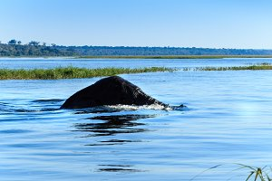 Elephant swimming Chobe river Botswana Africa