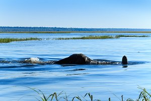 Elephant taking dive Chobe river Botswana Africa