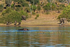 Group elephants walking and drinking river hippo Africa
