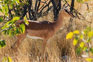 Black-faced impala between grass and trees Namibia