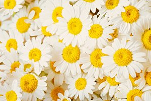 Lovely blossom daisy flowers